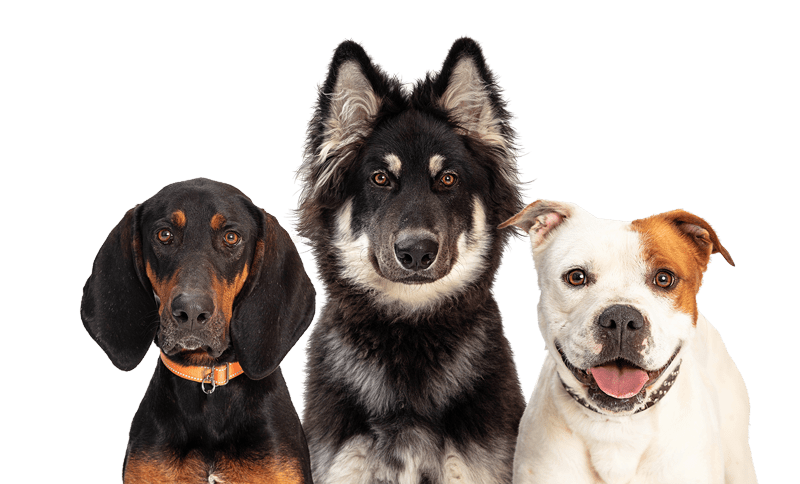 3 dogs staring